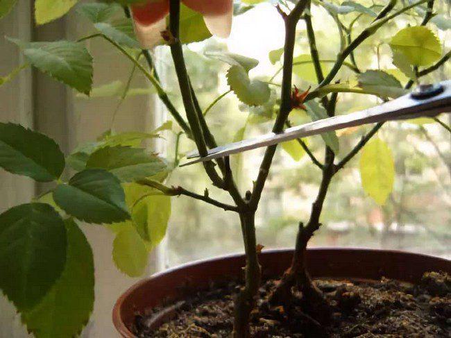 Как правильно обрезать розу в горшке в домашних условиях