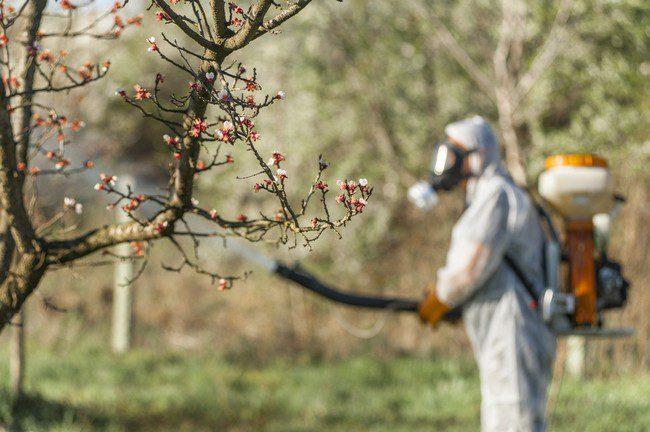Обработка деревьев весной во время распускания почек