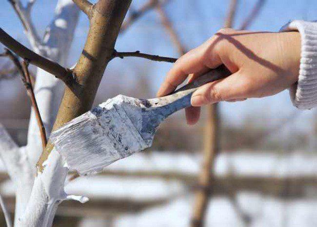 Побелка для деревьев весной зачем