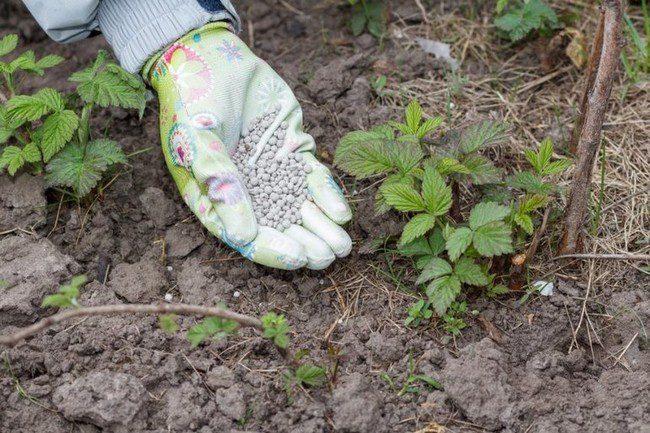 Удобрение для малины весной для увеличения урожая