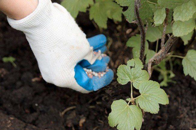 Удобрение для смородины весной для увеличения урожая