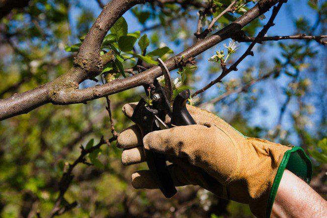 Уход за яблоней во время плодоношения на даче на открытом участке