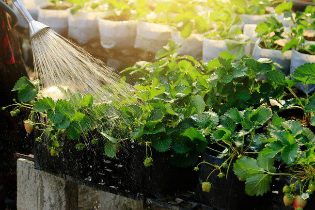 Уход за клубникой во время плодоношения на даче на открытом участке