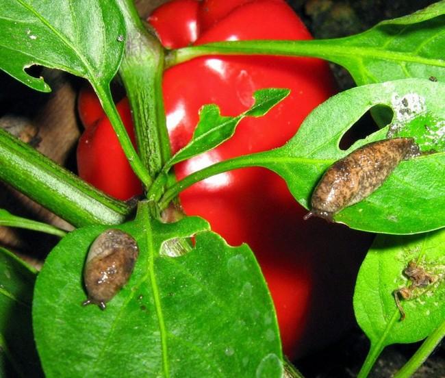 личинки на рассаде перца