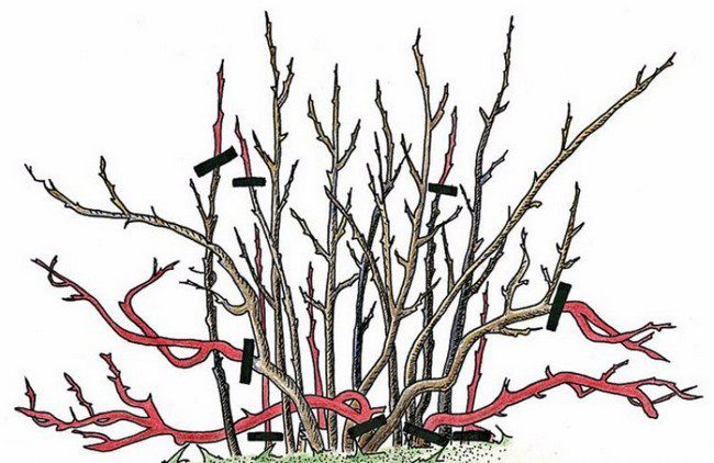 Обрезка кустарников весной сроки и порядок