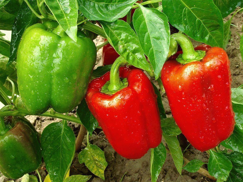 Посев перца на рассаду в 2020 году на Урале по лунному календарю