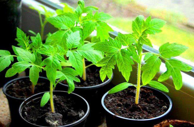 Посев томатов на рассаду в 2020 году на Урале по лунному календарю