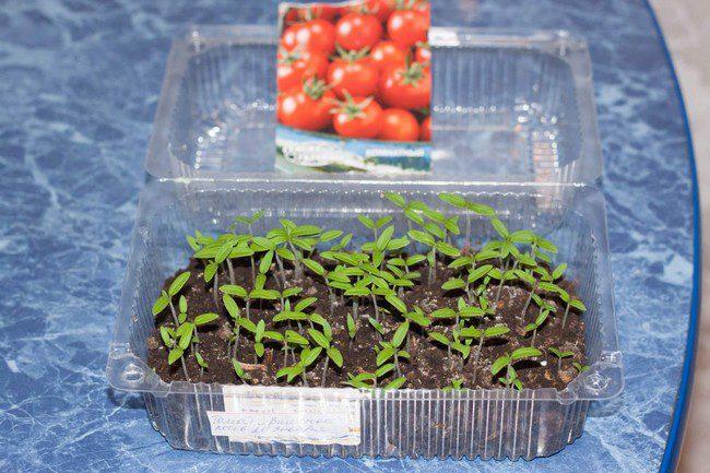 Посев томатов на рассаду в 2020 году в Сибири по лунному календарю