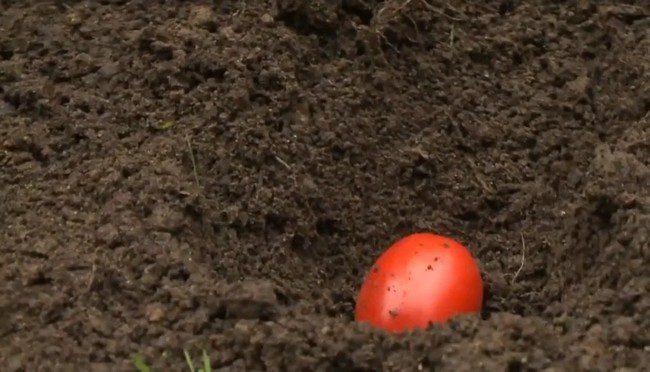 Посев томатов под зиму уникальный способ выращивания