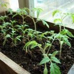 Благоприятные дни для посадки помидор в феврале 2020