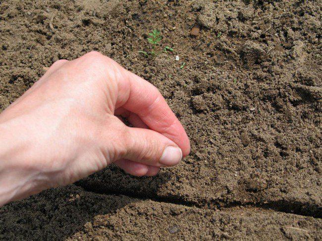 Как обработать семена моркови чтобы посевы быстро взошли
