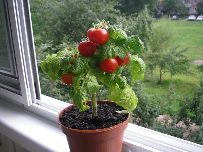 Как выбрать семена помидор для рассады в домашних условиях