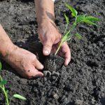 На какую глубину сажать перец на рассаду в домашних условиях