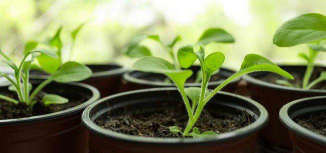 Подкормка рассады петунии для роста в домашних условиях