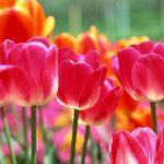 Посадка тюльпанов весной когда и как посадить в Московской области