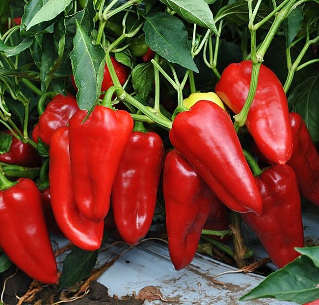 Как выбрать семена перца болгарского для посадки