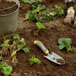 Когда садить клубнику весной на Урале