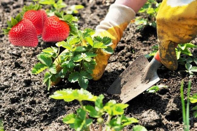 Когда садить клубнику весной в каком месяце