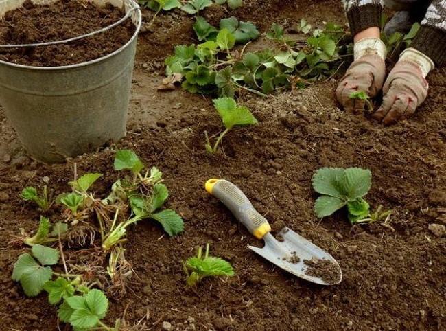 Когда сажать клубнику весной в Подмосковье