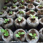 Посадка петунии на рассаду в торфяных таблетках видео