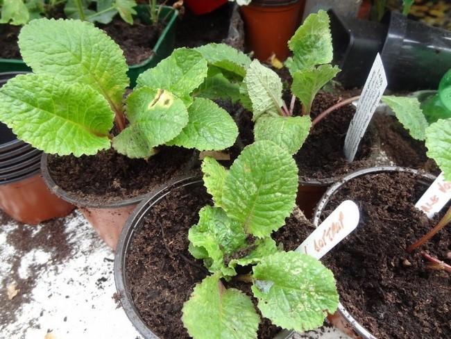 Посадка примулы семенами на рассаду в домашних условиях