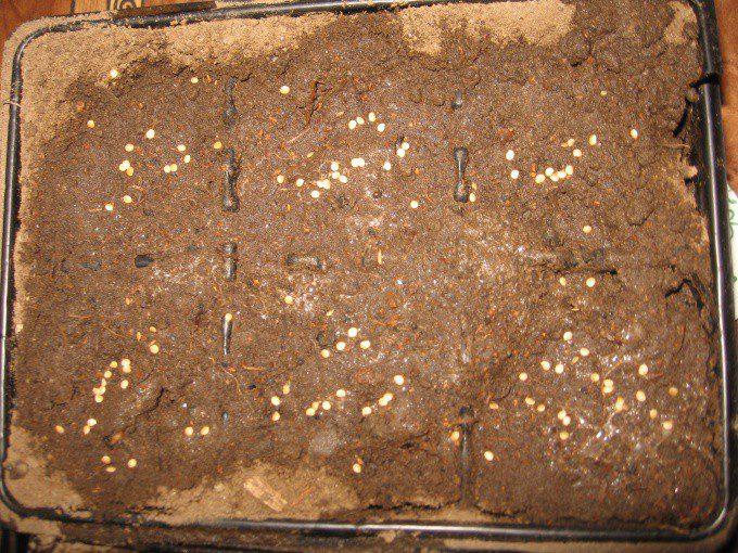 Обработка семян кипятком перед посадкой отзывы