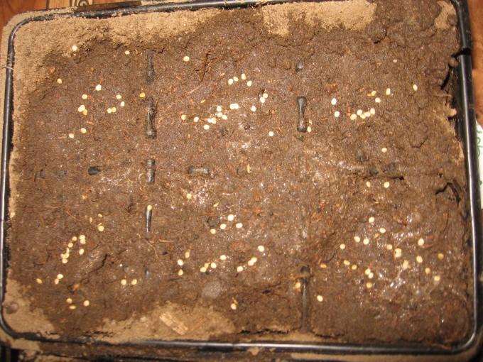 семена посадка с кипятком отзывы