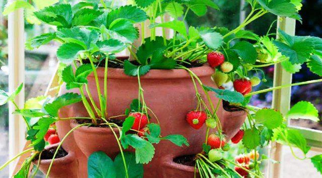 Клубника на подоконнике выращивание круглый год отзывы