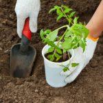 Посев томатов на рассаду в 2021 году в Подмосковье по лунному календарю