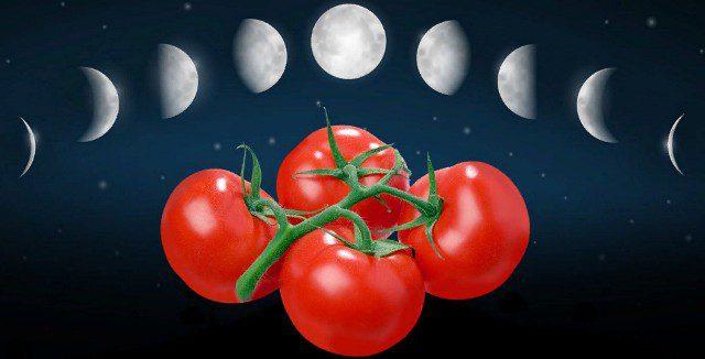 Посев томатов на рассаду в 2020 году в Подмосковье по лунному календарю