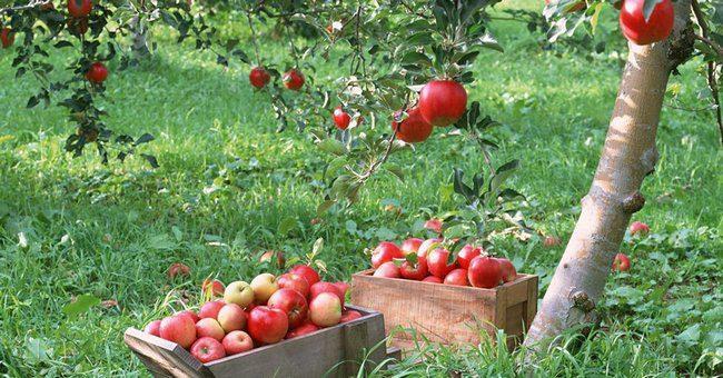 Обработка сада мочевиной весной от вредителей и болезней