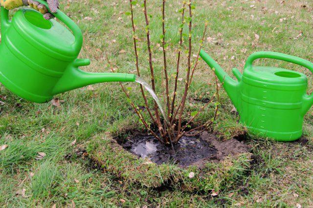 Обработка кустарников кипятком ранней весной