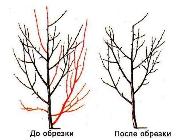 Обрезка алычи весной для начинающих в картинках пошагово