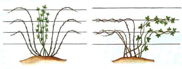 Обрезка ежевики весной для начинающих в картинках пошагово