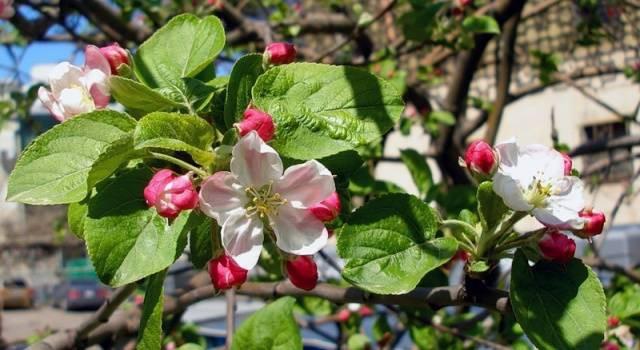 Обрезка яблони весной для начинающих в картинках пошагово