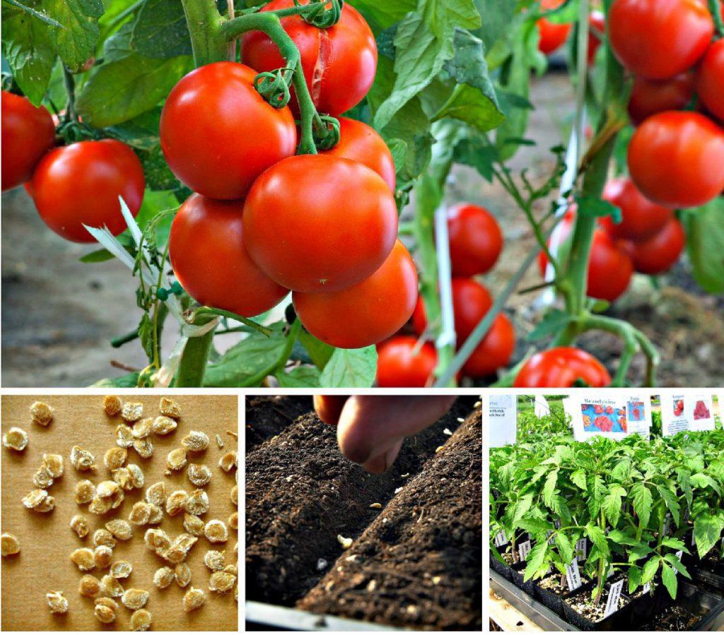Благоприятные дни для посадки томатов в марте 2020 года