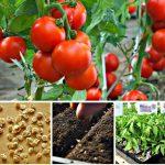 Благоприятные дни для посадки томатов в марте 2021 года