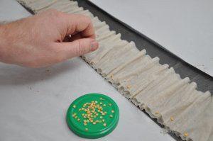 Проращивание семян перца на туалетной бумаге