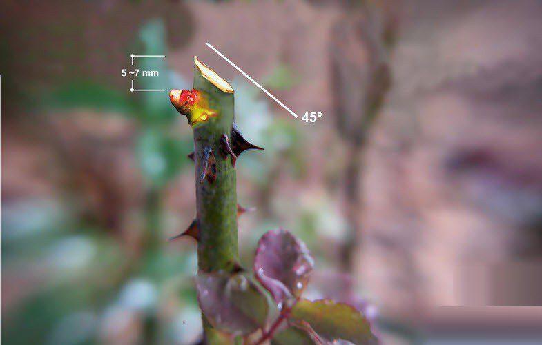 Схема обрезки роз весной для начинающих