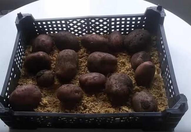 Как прорастить картофель для посадки в домашних условиях
