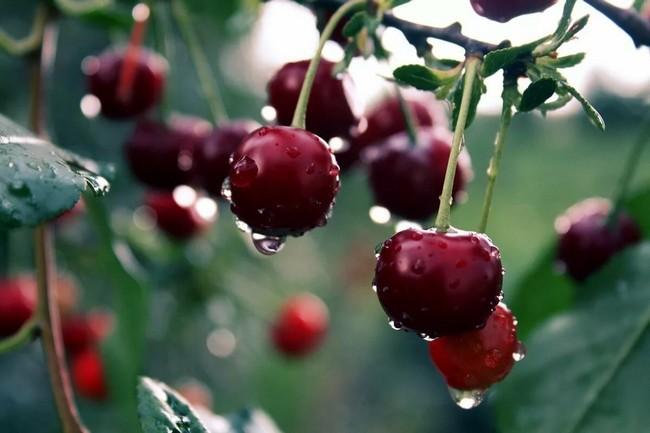 Обработка вишни весной от вредителей и болезней
