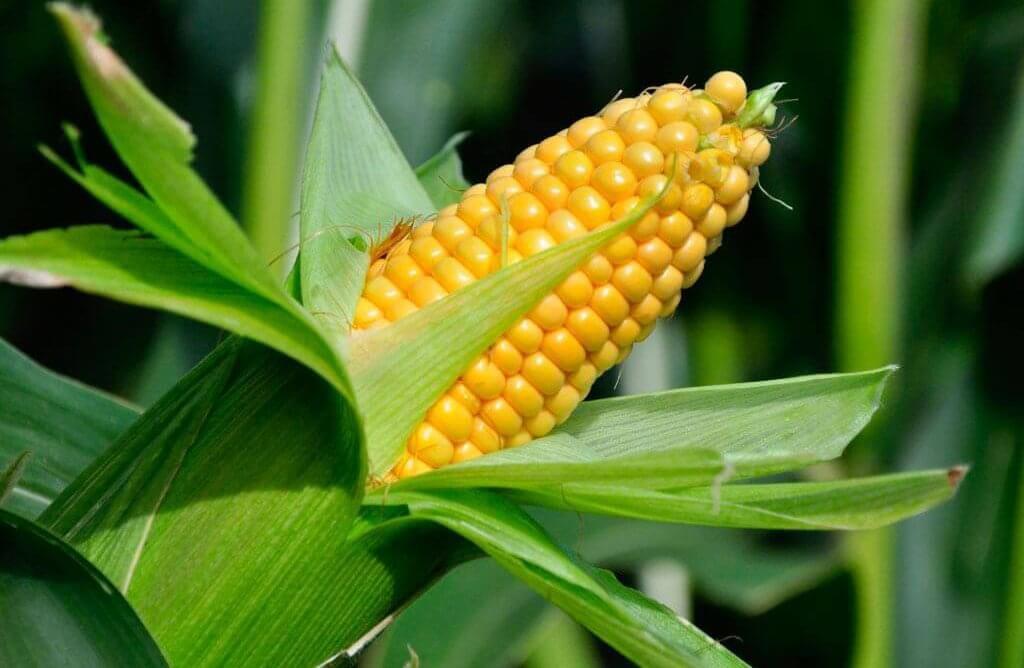 Посадка кукурузы весной посев когда сеять как сажать правильно