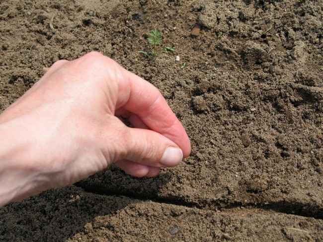 Посадка моркови в открытый грунт семенами весной 2020