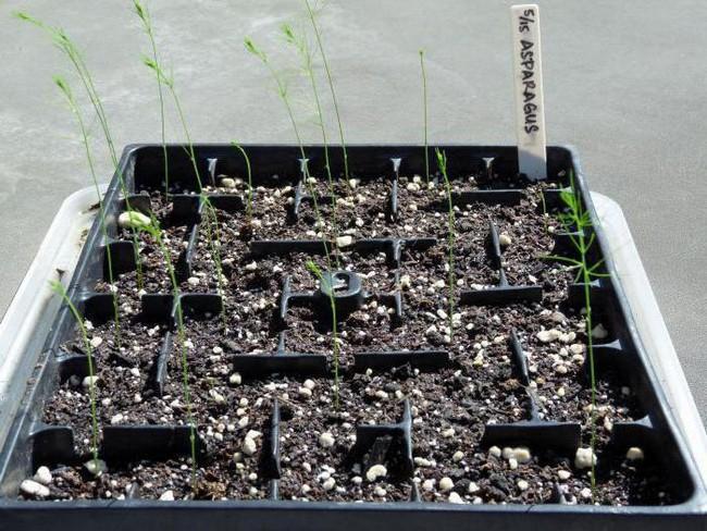 Посадка спаржи семенами в открытый грунт