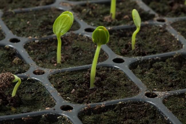 Сроки посадки арбузов и дынь на рассаду в 2020 году