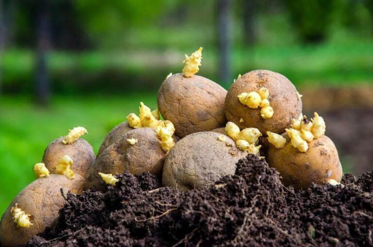 Посадка картофеля в апреле 2020 по лунному календарю