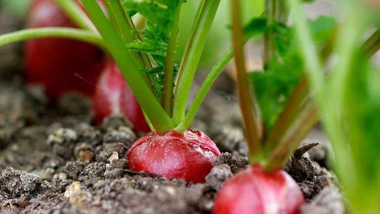 Посадка редиса весной в открытый грунт семенами сроки посадки