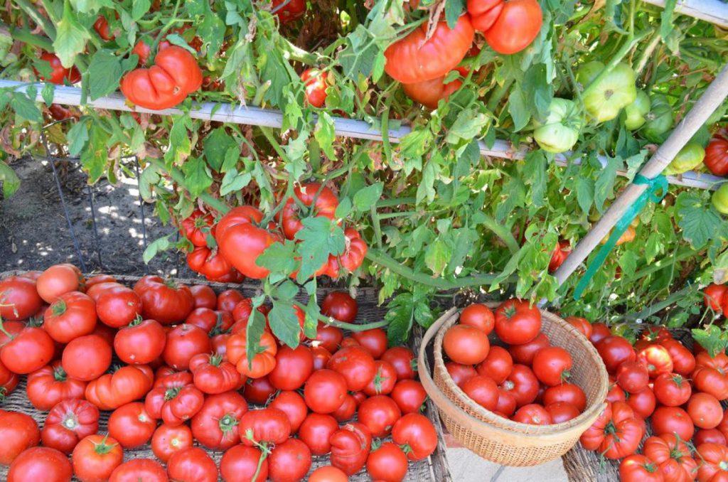 Благоприятные дни для посадки томатов в апреле 2020 года