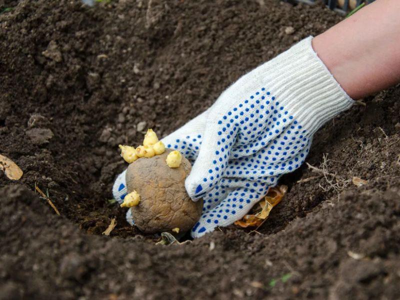 Что положить в лунку при посадке картофеля для хорошего урожая