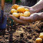 Посадка картоПосадка картофеля по лунному календарю в 2021 годуфеля по лунному календарю в 2020 году